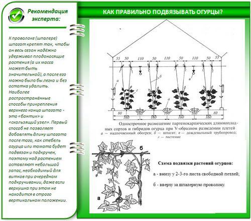 Схема посадки огурцов в теплицах