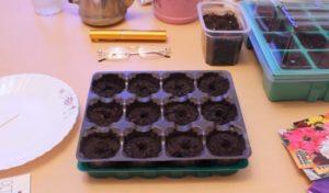 Остеоспермум выращивание из семян в домашних условиях 774