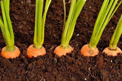 Морковь выращивание из семян