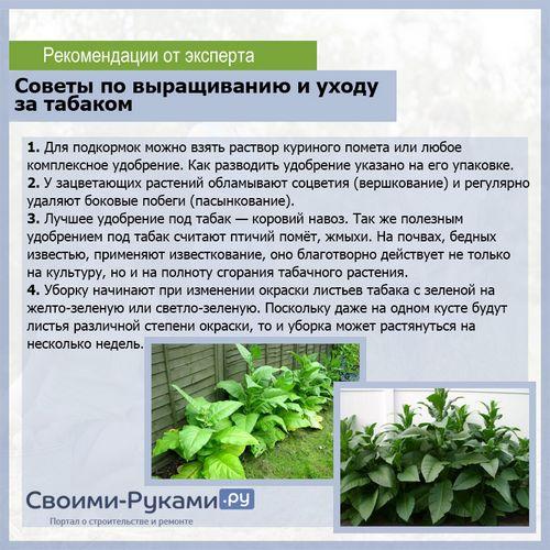 Сорта махорки для выращивания в сибири 52